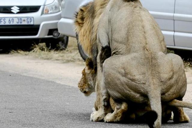 南非狮子把公路当自己家