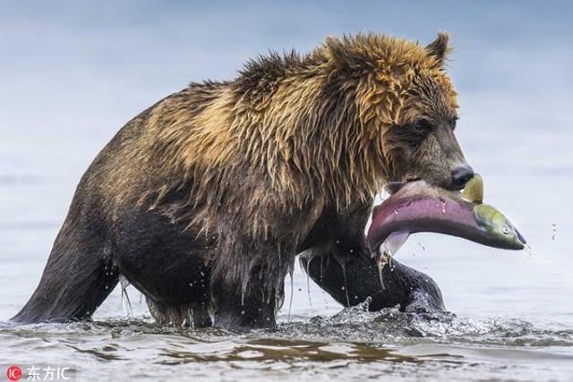 棕熊残暴捕食三文鱼:鱼籽四溅