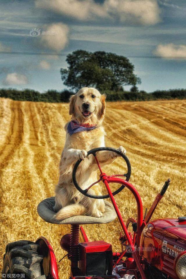 2018年2月8日讯,在北爱尔兰的唐郡,有一只名叫Rambo的金毛犬,它拥有一项惊人的技能——驾驶拖拉机,经常帮主人修剪草坪、犁地、收割玉米、修剪树篱。