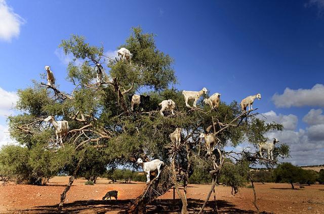 一组令人惊叹的山羊上树图片在网上大热。图片展示了摩洛哥一棵不算粗壮的坚果树上站满了吃果实的山羊,细数一下竟有14只之多,着实令人惊叹。