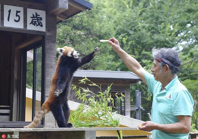 """当地时间2018年7月5日,日本千叶市,千叶市动物园""""网红""""小熊猫Futa当天迎来15岁生日,众多游客前来参观并为Futa庆生。"""