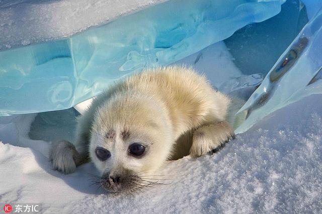在俄罗斯奥尔洪岛,56岁的摄影师Sergey Anisimov在当地的贝加尔湖拍摄到一只可爱的海豹宝宝。画面中小海豹正在冰面上穿行,兴许是看见了摄影师,还很配合地向镜头招手,可爱极了。Sergey Anisimov Caters News/东方IC