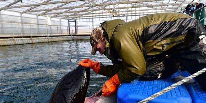 多國知名人士致信普京 呼吁解救100多只鯨魚
