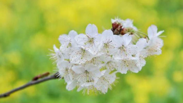 四川泸州:樱桃花开春意浓 踏春赏花正当时