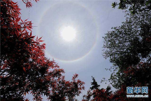 红叶衬托下的日晕。 普凡 摄 4月9日中午,昆明上空出现罕见的日晕景观。据了解,日晕是太阳光通过云层中的冰晶时,经过折射而形成的物理现象,围绕太阳环形,呈彩色。