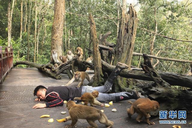 """近日,""""摔跤炫富""""的照片在各大社交平台刷屏,云南普洱国家公园的动物观察员脑洞大开,与园内动物在森林中进行了一场独特的""""生态摔"""",测试动物的反应。"""