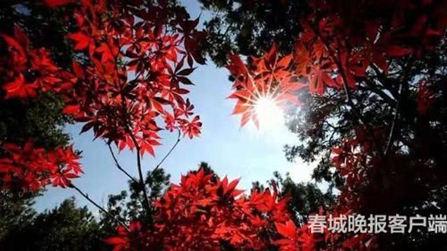"""航拍镜头下的万亩松岭间,有一片红色格外引人注目,黄的、红的各色树叶相互点缀,在蓝天白云的映衬下,成为一道靓丽的风景。据悉,此次""""龙潭秋韵""""王老吉第十四届昆明枫叶节将持续到11月30日,市民有空可走出家门,欣赏这层林尽染,秋色潋滟的美景。"""