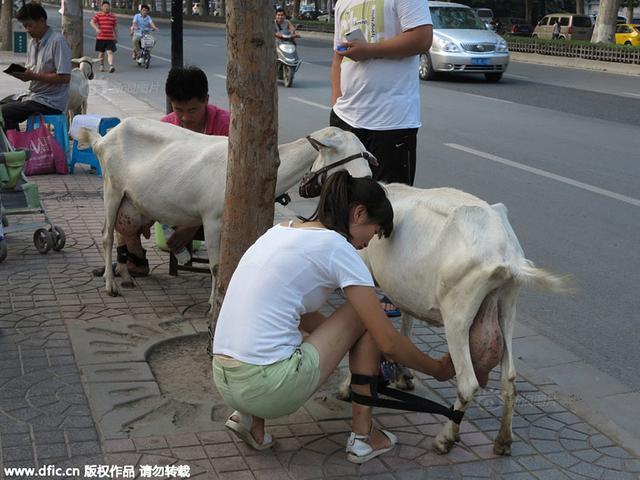 2015年7月8日,在西安大寨路十字往北的丈八北路街道旁,一对年轻夫妇拉着四只羊在卖羊奶,现挤现卖,引来了大批围观的市民。记者在现场看见,尽管矿泉水瓶那么大一瓶要10元,但前来购买的市民仍络绎不绝。摄影:彭华/东方IC
