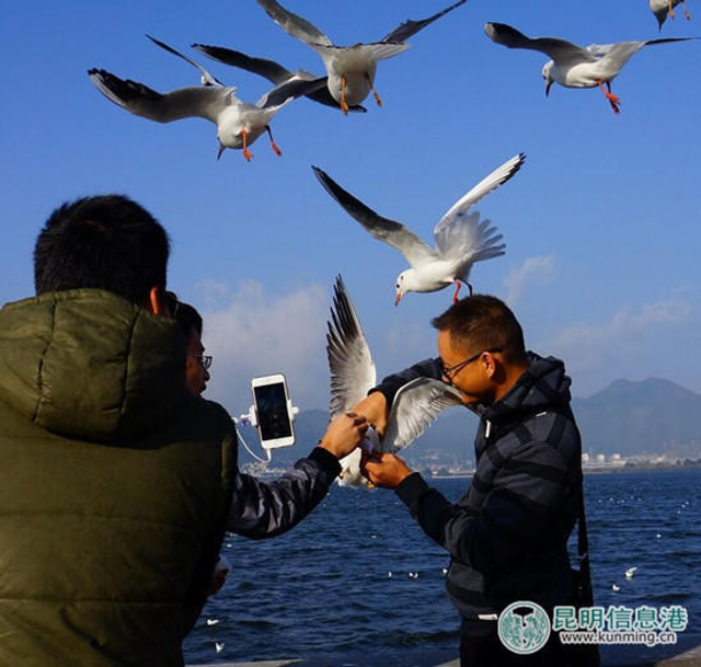"""12月9日,网友爆料称,有外地游客在昆明海埂大坝观看海鸥时,抓住海鸥自拍留影,导致海鸥受到惊吓、伤害,让人十分气愤。 据了解,网友""""荷塘那荷花""""当日上午到海埂大坝拍摄海鸥照片,不成想看到有游客抓住海鸥自拍留影,期间全然不顾被抓海鸥的挣扎和其它海鸥呼救的鸣叫。"""