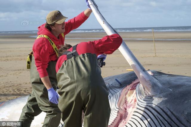 英国鲸鱼搁浅或因军事活动