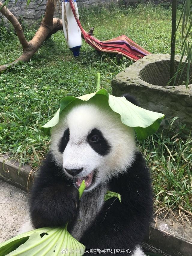 这是@中国大熊猫保护研究中心 发的一组图,戴着荷叶的大熊猫特别乖。