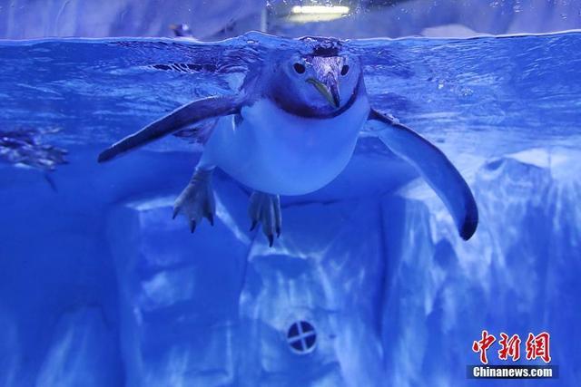 """6月13日,江苏淮安一家极地海洋馆内,企鹅在水中游泳,可爱的""""萌""""样吸引了游客的目光。泱波 摄"""